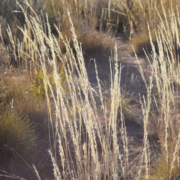 Spinifex plants