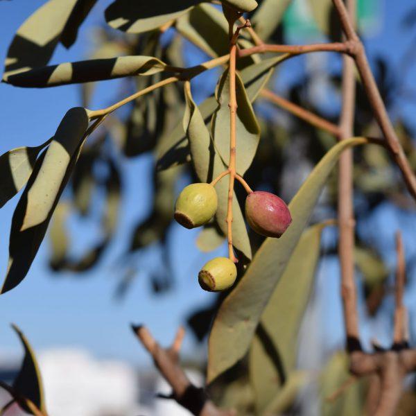The Australian gum nut